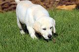 a cute nice little yellow labrador puppy in green grass