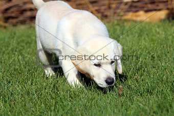 a cute nice little yellow labrador puppy in green grass