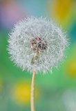 Dandelion close up isolated