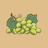 Grapes in vintage style. Colored vector illustration