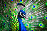 Colorful Peacock Portrait