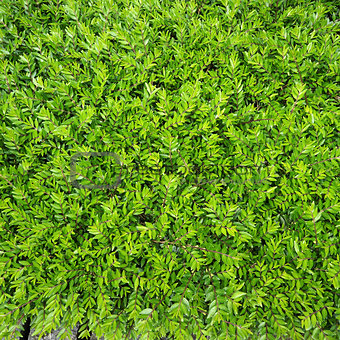 Foliage of bushes. Natural green background.