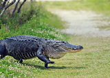 Alligator Crossing a Trail