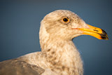 California Gull, Larus californicus