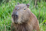 Portret of a capybara in the swamp of Esteros del Ibera