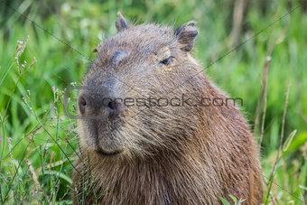 Portret of a capybara in the swamp of Esteros del Ibera