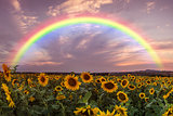 Landscape with Sunflower and Rainbow