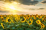Sunflowers Field and Sun