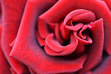 Macro Shot of a Red Rose