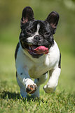 French bulldog on green grass