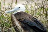 Young magnificent frigatebird, North Seymour, Galapagos, Ecuador
