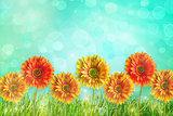 Colorful gerbers flowers