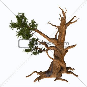 Bristlecone Pine Tree