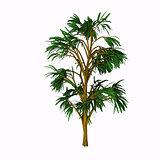 Cordaites borrasifolius Tree