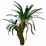 Cycad Seed Plant