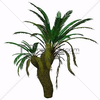 Cycad Seed Plant