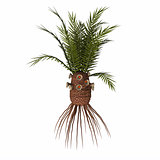 Cycadeoidea gigantea Plant