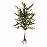 Dicroidium sp Tree