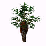 Dwarf Fan Palm Tree