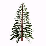 Walchia Tree