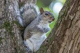 Gray Squirrel Resting in a Tree