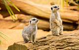 Cute meerkats on a wooden log
