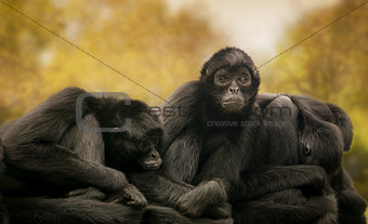 Black spider monkeys