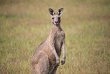 Eastern Grey Kangaroo - Macropus giganteus