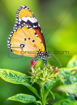 Tiger butterfly on a flower
