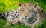 Young jaguar cub