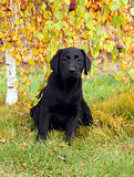 a little nice black labrador puppy in autumn