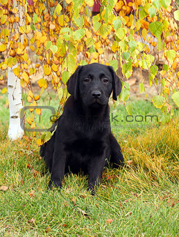 a little nice black labrador puppy in autumn