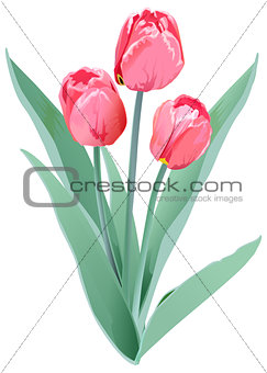 Three red tulips. Tulip flower