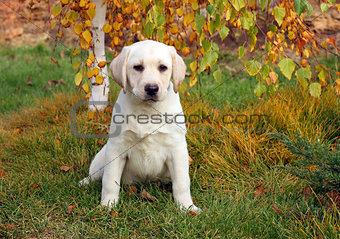 a nice yellow labrador puppy in autumn