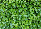Ivy Background