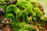 Nature Background. Moss Close Up View.