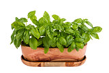 Basil in pot on white background