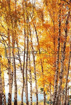 Forest birch. Autumn gold