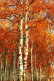 Forest birch. Autumn gold