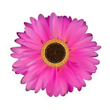 Gerbera Flower White Background