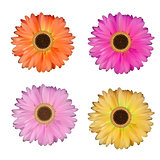Gerbera Flower Set White Background Vector Illustration