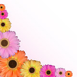 Gerbera Flower Natural Background Vector Illustration