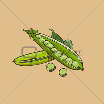 Green pea in vintage style. Colored vector illustration