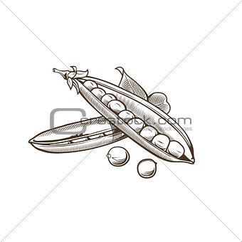 Green pea in vintage style. Line art vector illustration