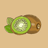 Kiwi in vintage style. Colored vector illustration