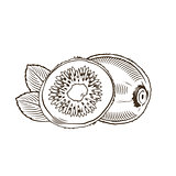 Kiwi in vintage style. Line art vector illustration