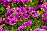 African Daisy flower, Osteospermum flower background