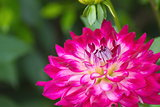 Pink Dahlia flower on blurred background