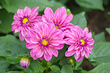 Pink Dahlia flower on blurred background