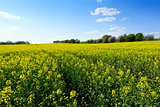 Field of rapeseed in spring